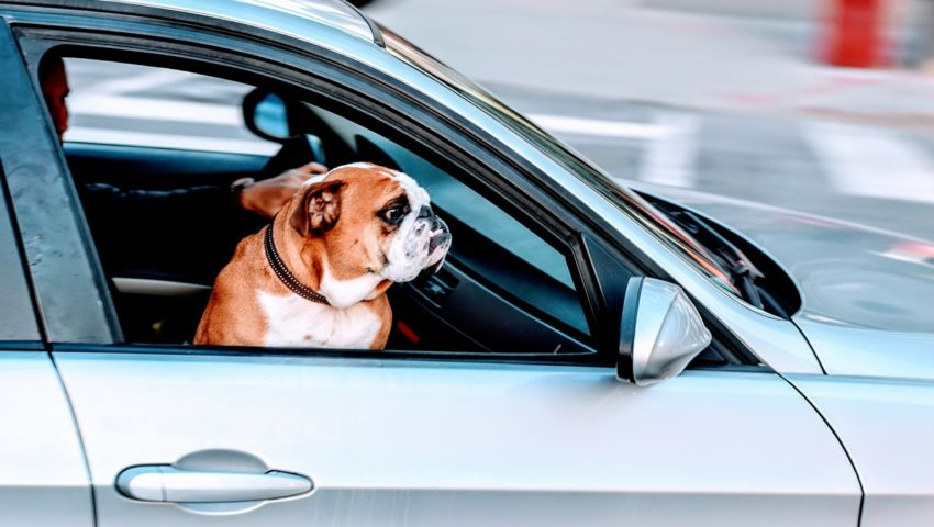 車に乗るパグ